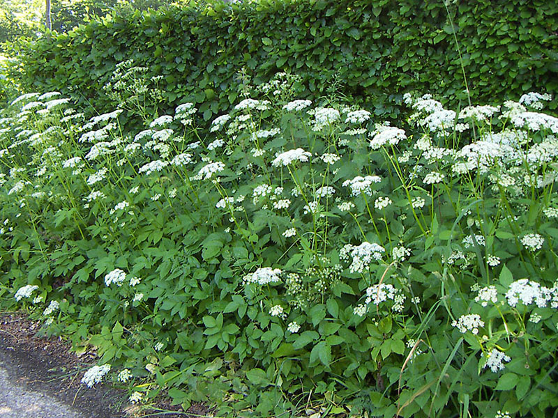Kirskål som ogräs i trädgård