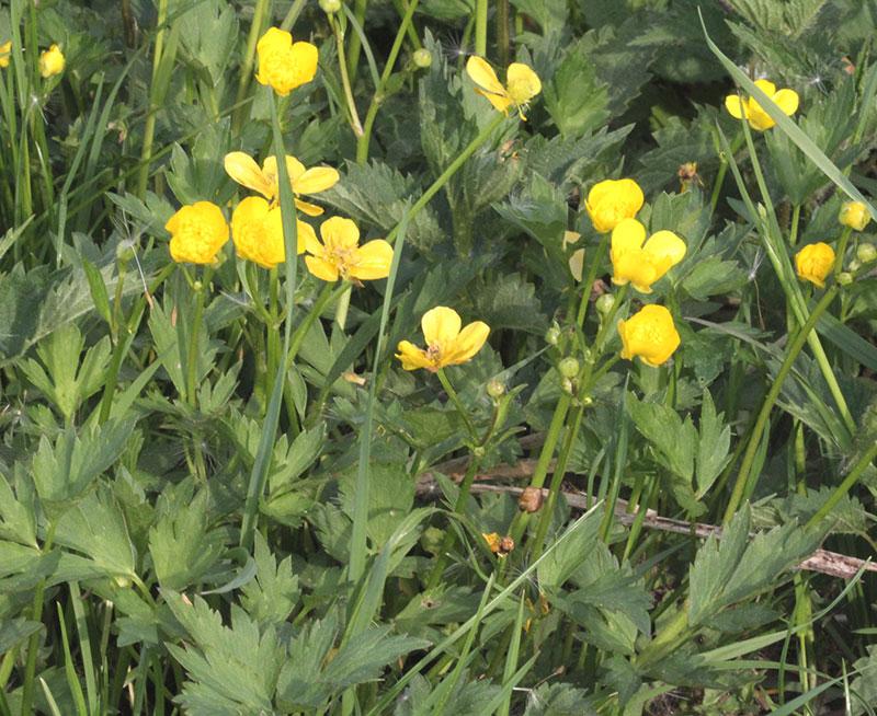 Revsmörblomma ogräs med gula blommor