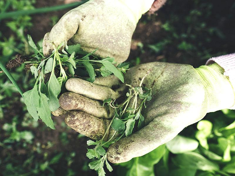Ogräsrensning med handskas