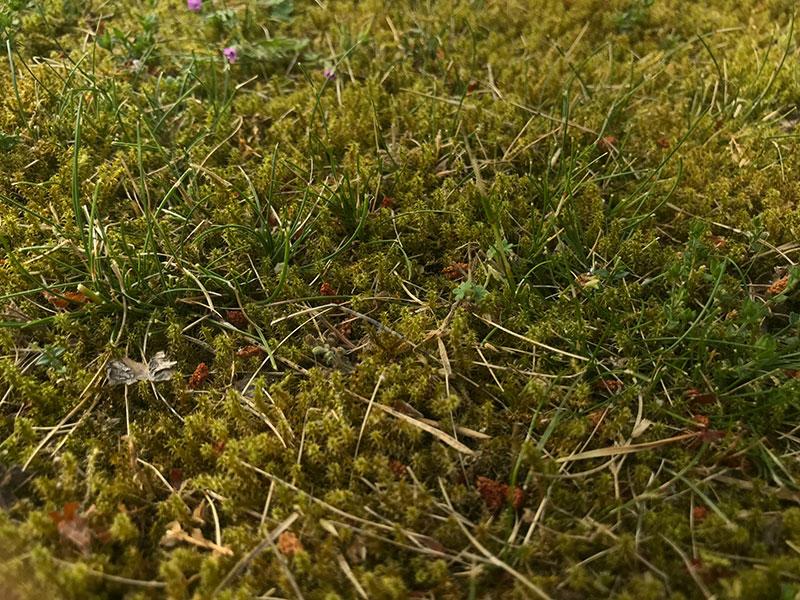 Mossa i gräsmatta