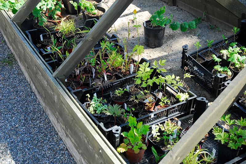 förökning av trädgårdsväxter med sticklingar utomhus i kallbänk