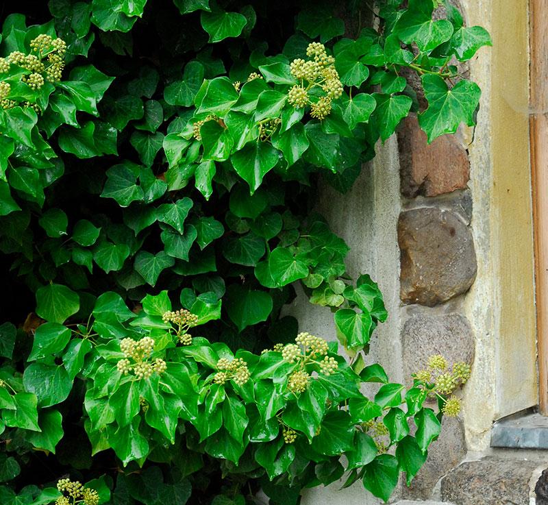 murgröna med blommor och bär i adult stadie