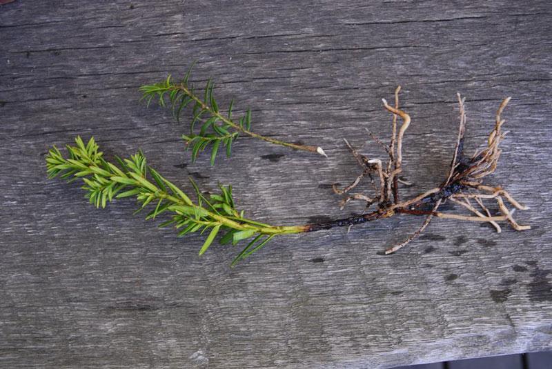 stickling av idegran med klack som har rötter