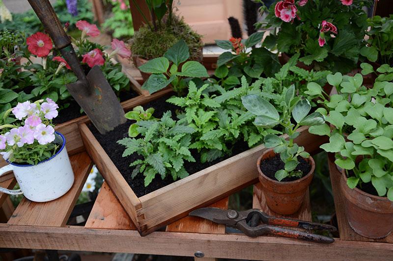 förökning med stickling av krukväxter