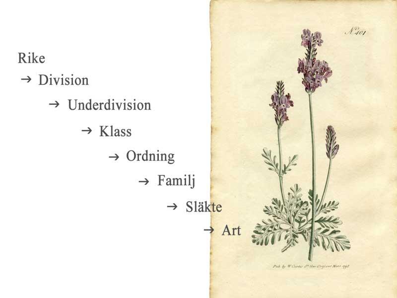 Översikt över växternas systematik och vetenskapliga namn