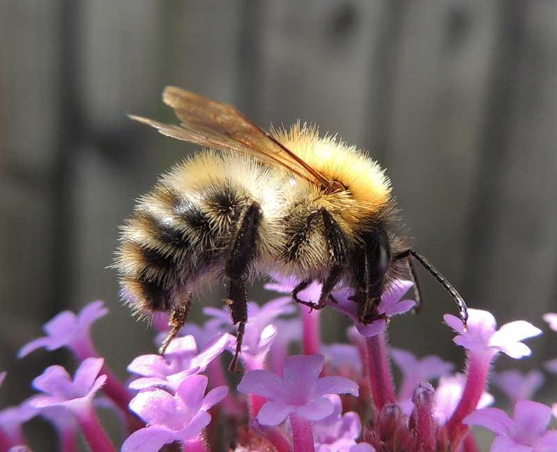 Åkerhumla som pollinerar verbena