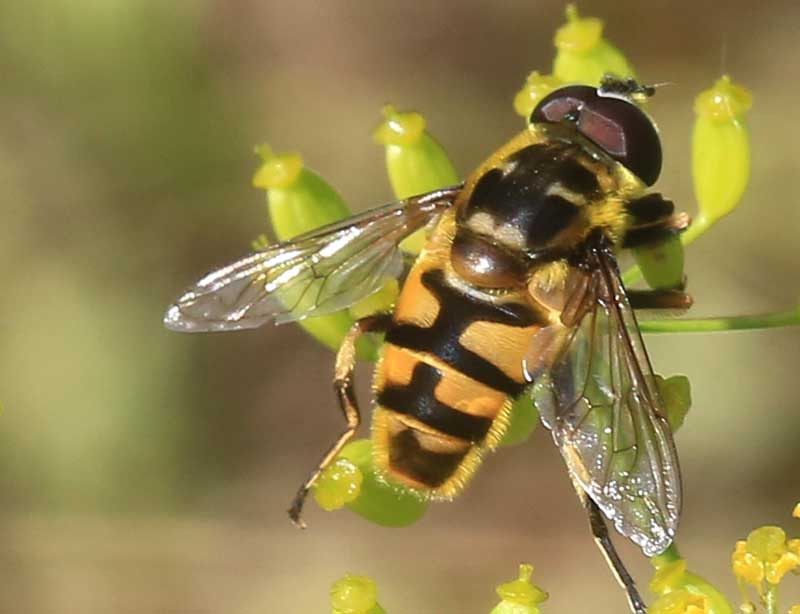 Blomfluga som pollinator