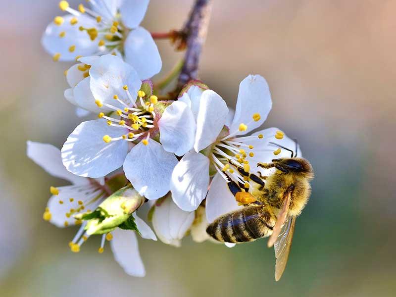 Körsbärsblomma som pollineras av bi