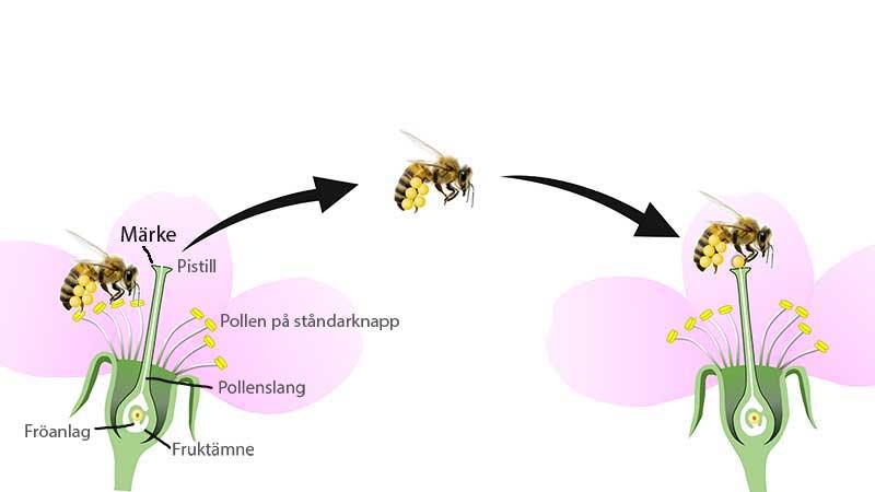 Illustration av hur pollinering fungerar