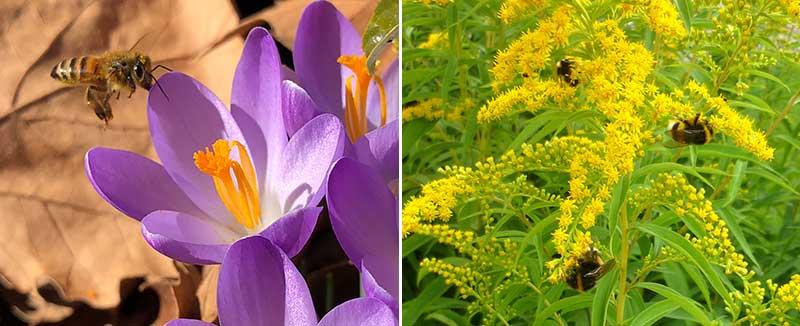 Pollinering av krokus och gulris med humlor och bin