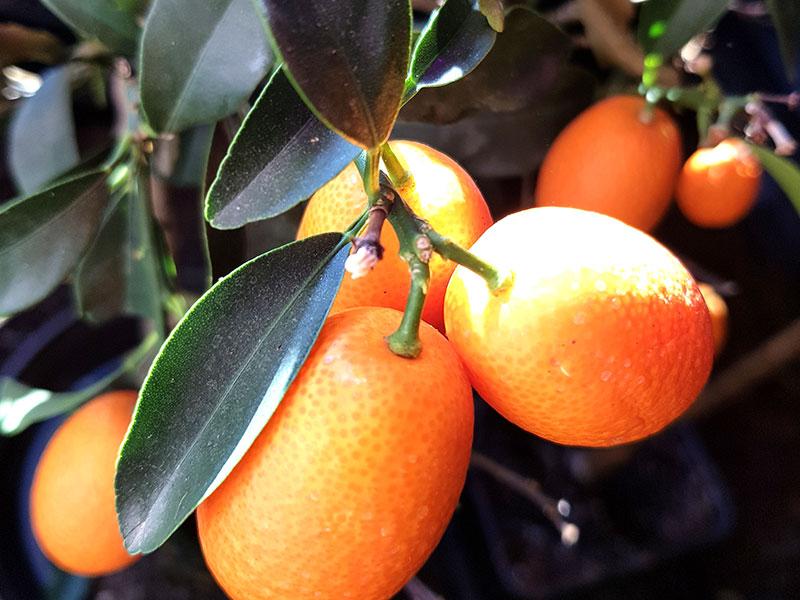 Mogna frukter på kumquatplanta