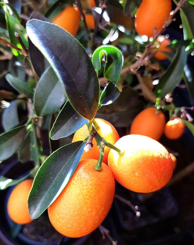 Kumquat, planta med frukter