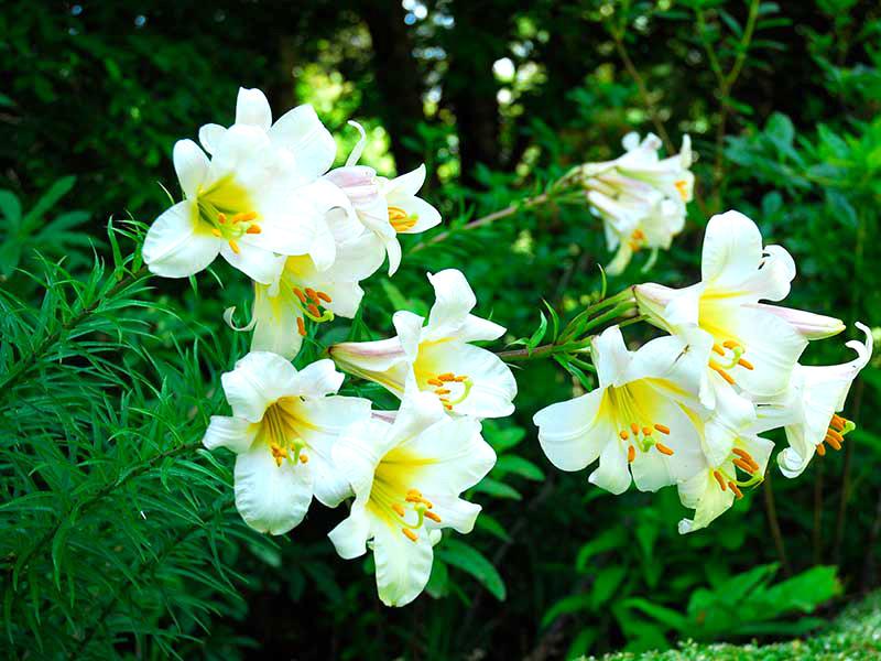 kungslilja, Lilium regale I trädgård