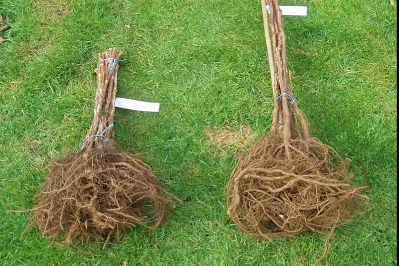 Barrotade hallonplantor