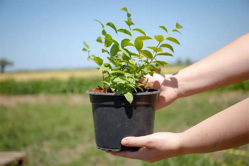 Krukodlade växter