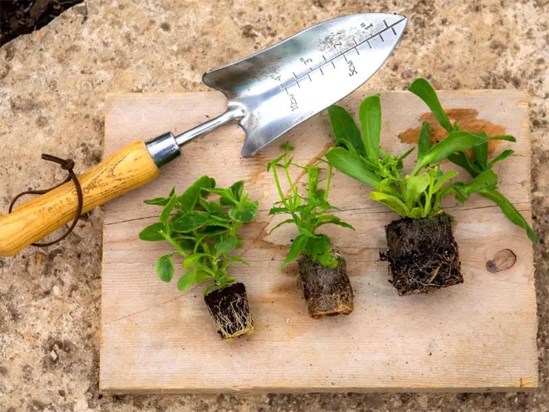 olika storlek på pluggplantor