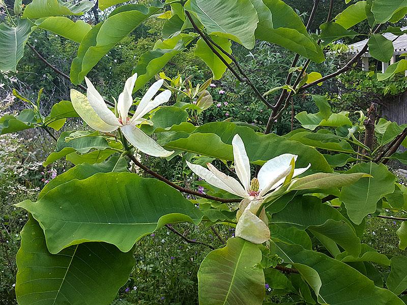 Blommande Junimagnolia, M. hypoleuca