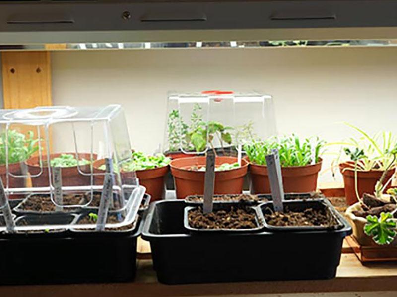 Växtlampa över frösådd i kruka med groddplantor