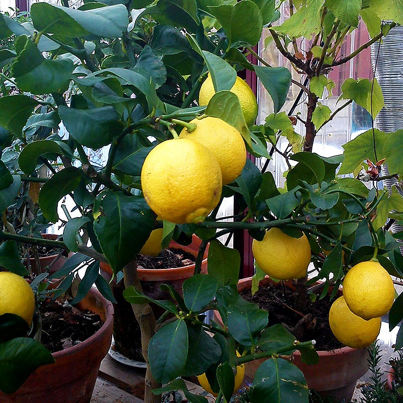 citronträd som övervintrar med växtbelysning