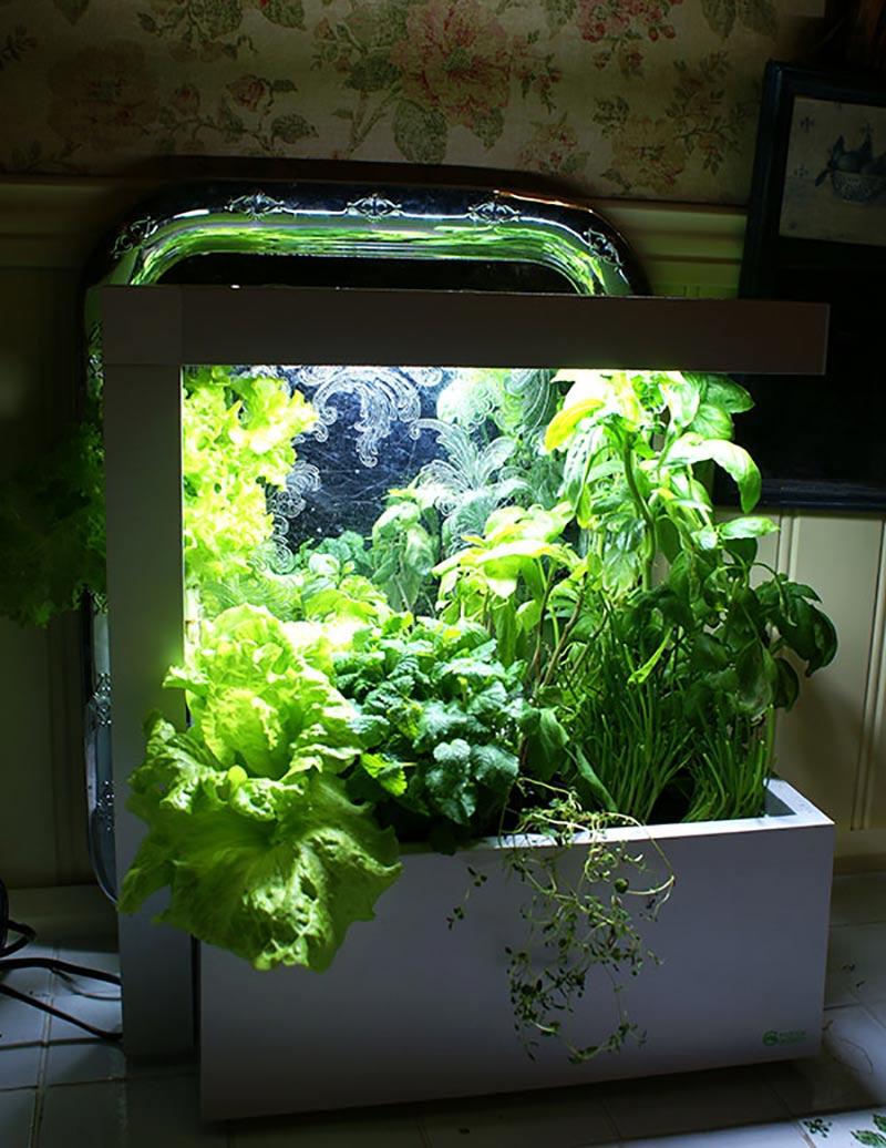 Inomhusodling i hydrokultur under växtlampa