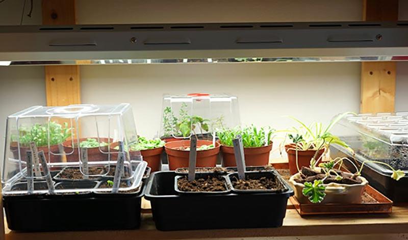 Sticklingar och fröer odlade inomhus i hylla under växtlampa