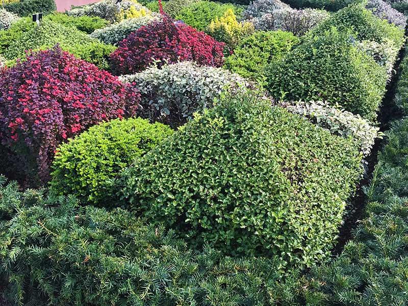 Vintergröna växter som alternativ till buxbom