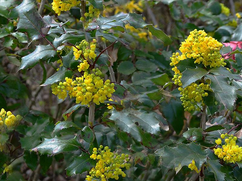 Mahonia med gula blommor i skugga