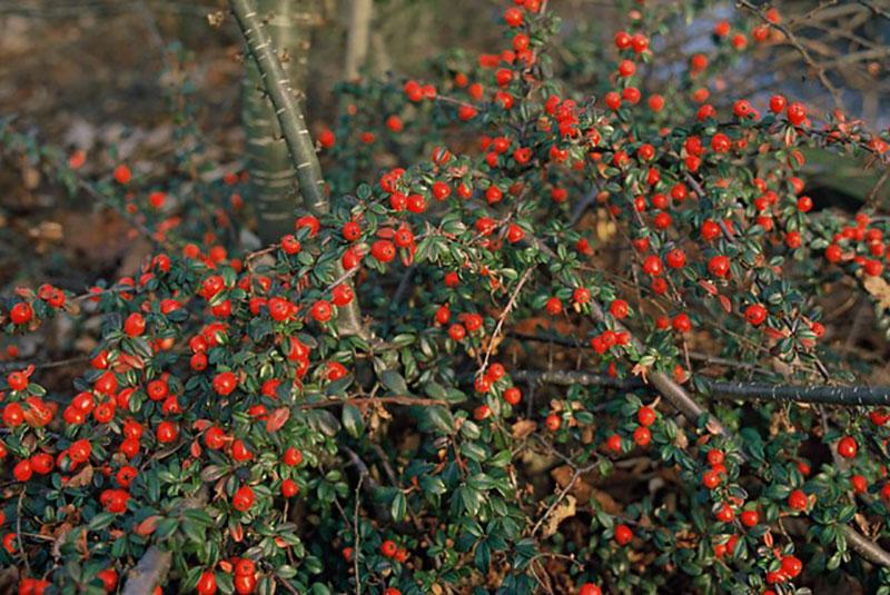 Oxbär med röda bär i skugga