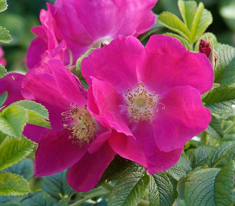 Vresros rosa blommor i skugga