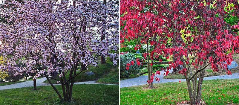 Flerstammigt prydnadsträd bergkörsbär blomning och höstfärg
