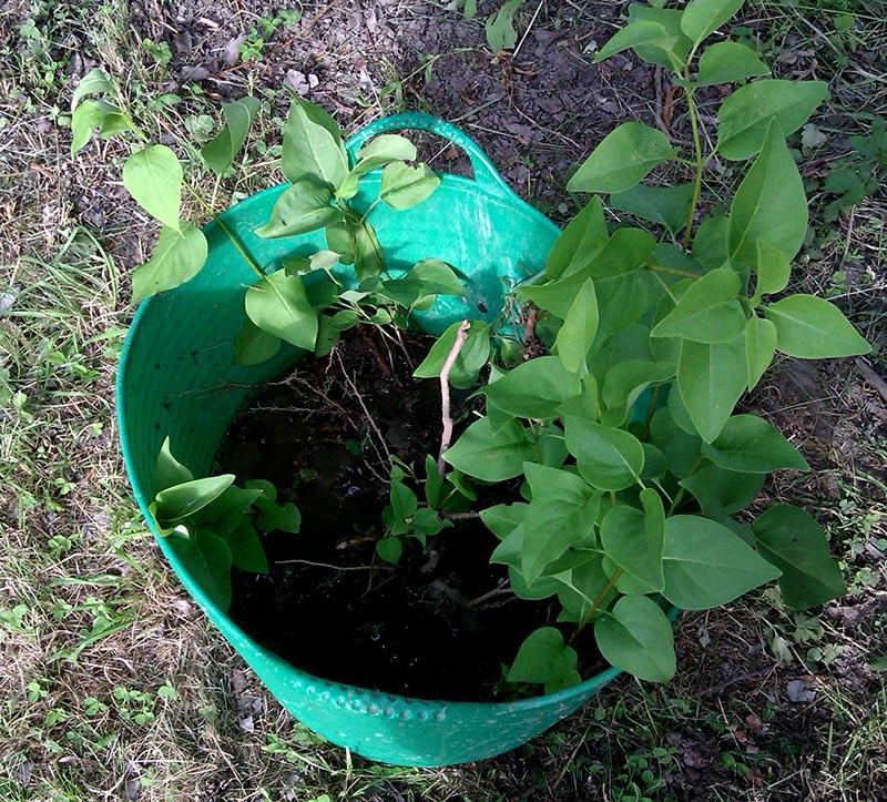 Uppgrävda syrenskott väntar på plantering i hink med vatten