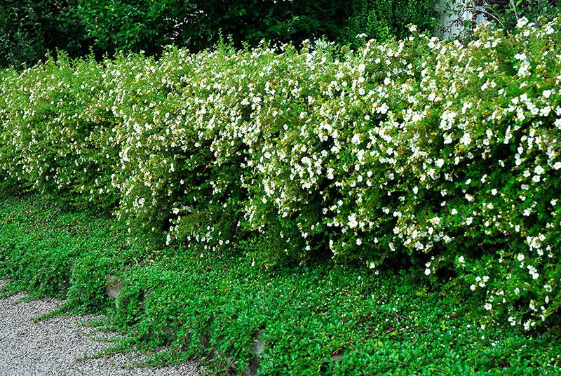 Blommande ölandstok