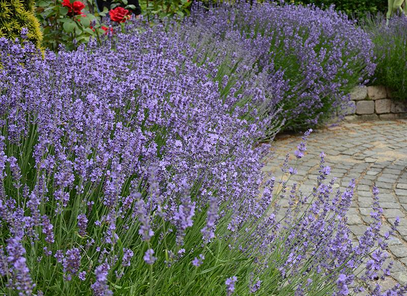Lavendel som häck