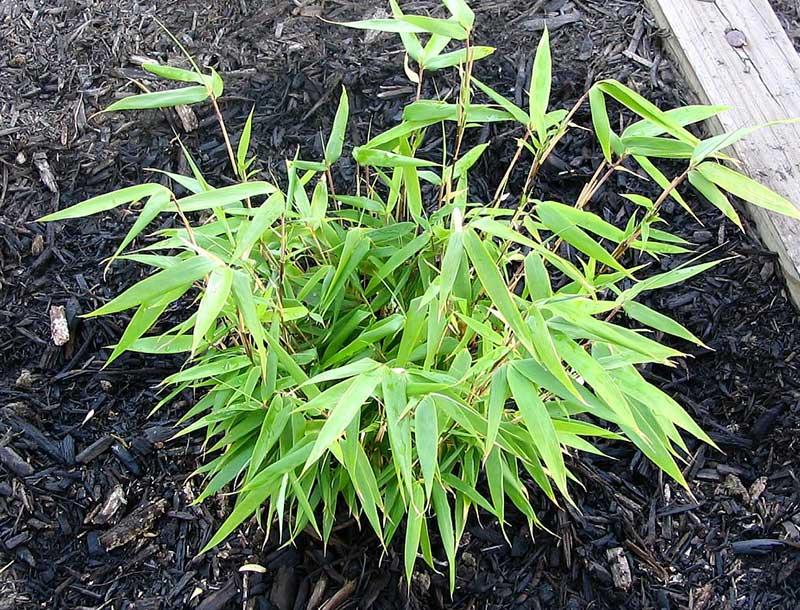 Plantering av bambu