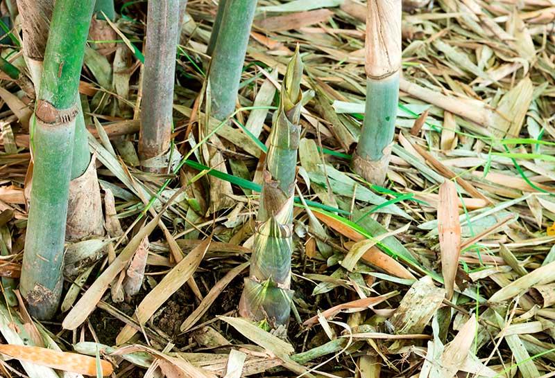 Bladgödsling av bambu med kisel av fallna blad