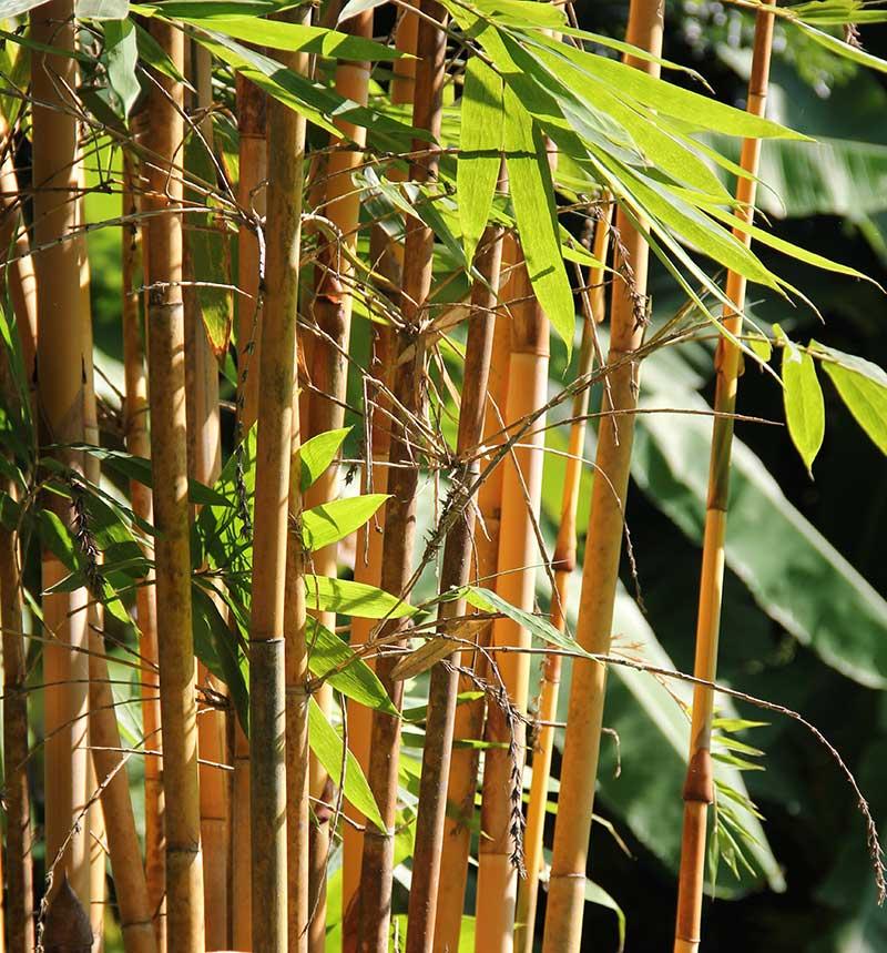 Bambu med synliga rör