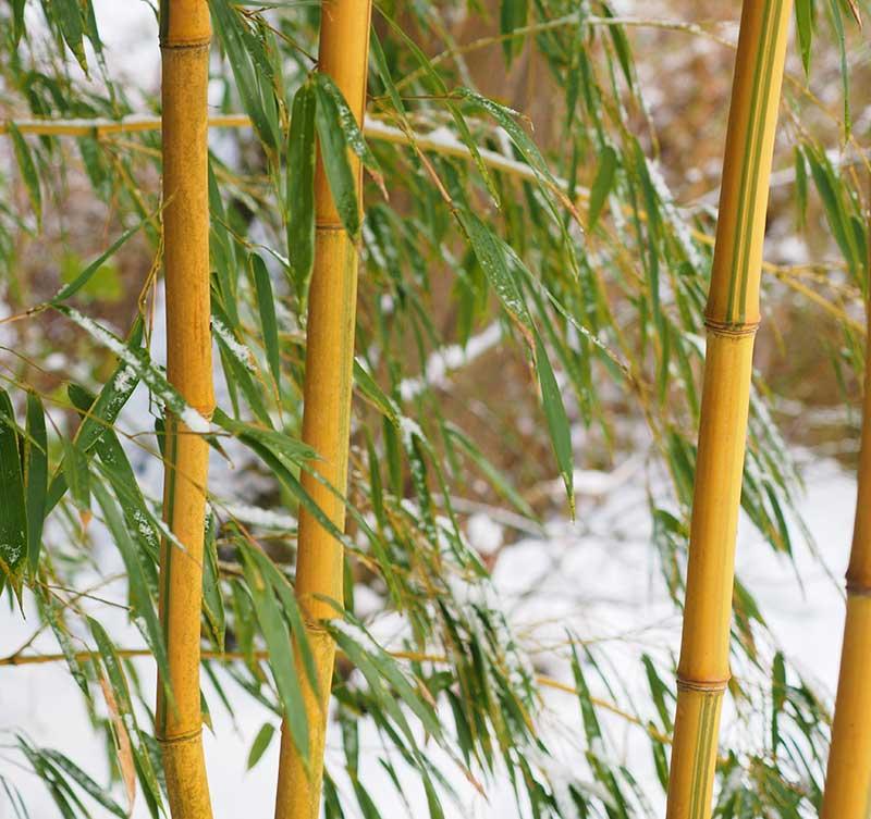Bambu på vintern