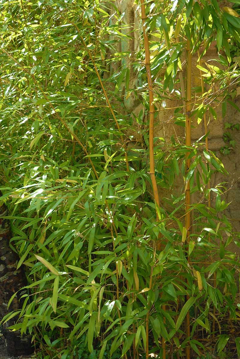 Kinabambu phyllostachys