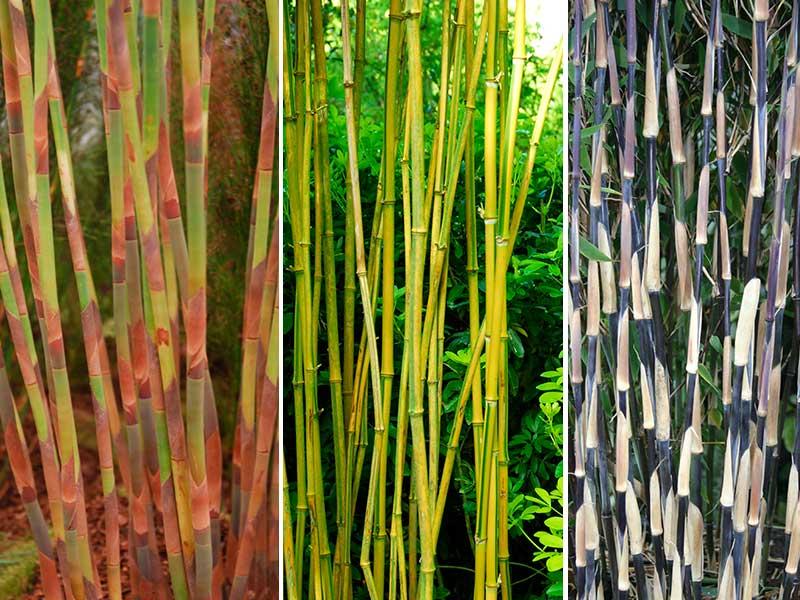 Olika färger på stammar av bambu