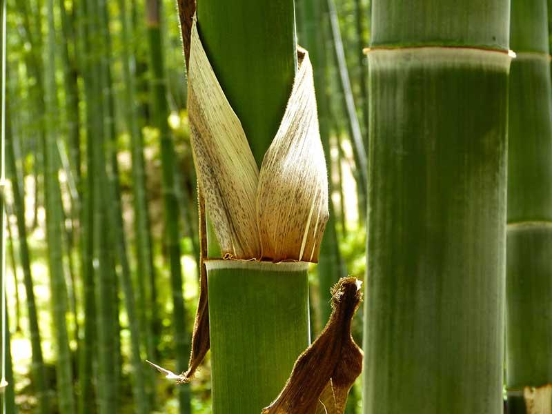 Stjälk av bambu med nod och bladslida