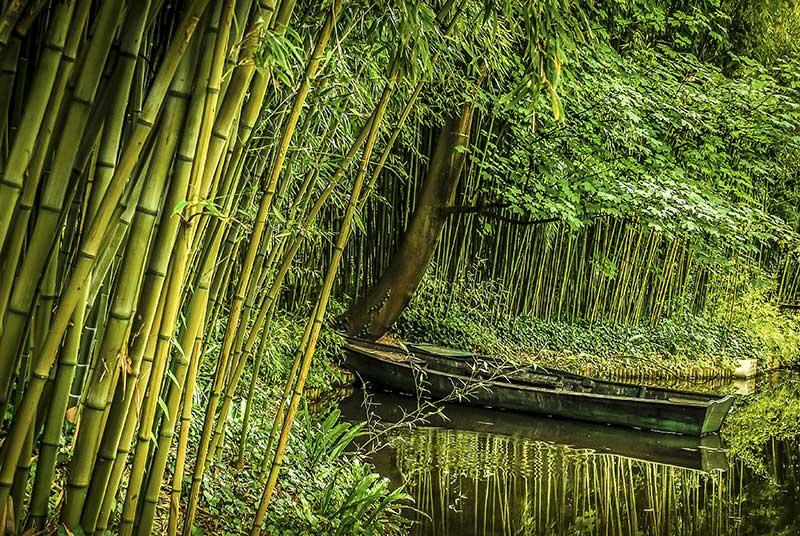 Vildväxande bambu i Vietnam