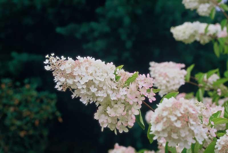 Vipphortensia, syrenhotensia i blomning
