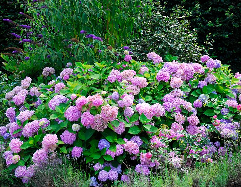 Hortensia i plantering med perenner