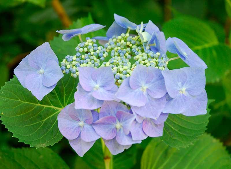 Hortensia med sterila skyltblommor och fertila blommor