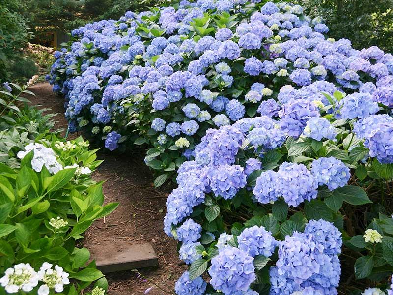 Hortensia som blommande häck