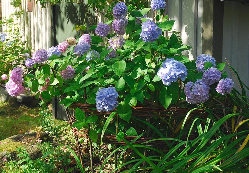 Hortensia planterad i trädgård med buskstöd av pil