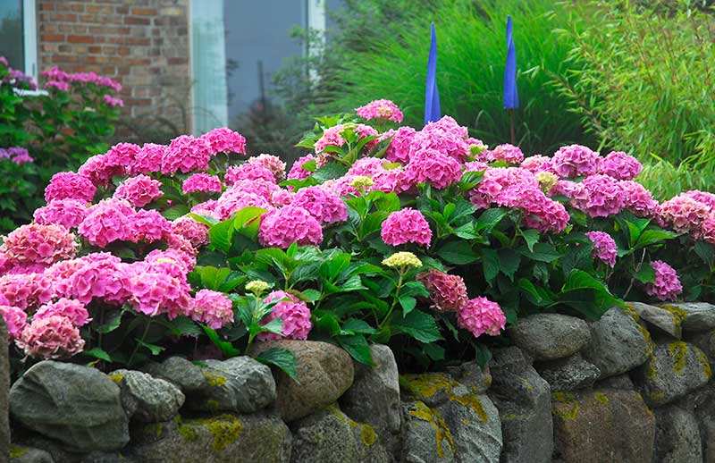 Hortensia som häckväxt