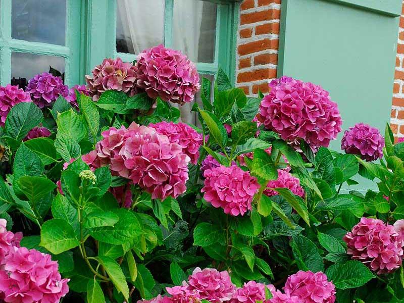 Hortensia Boquet Rose vid entre