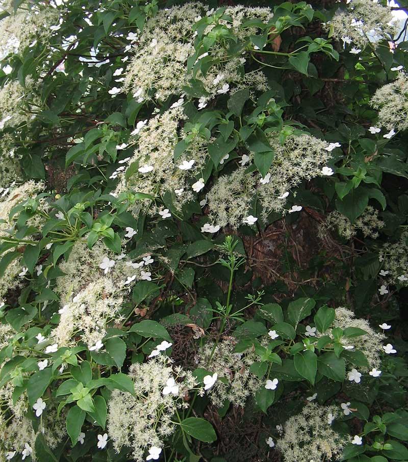 Hortensia som klätterväxt, klätterhortensia