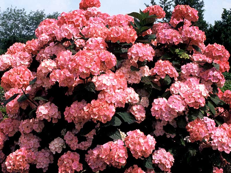 Purpurhortensia med röda blommor